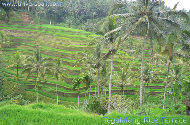 rice terrace at tegalalang village ubud bali