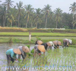 growing rice at tegalalang village